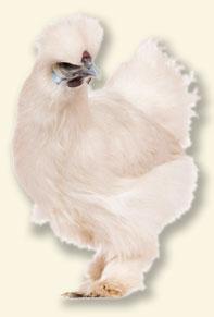 Silkehøne