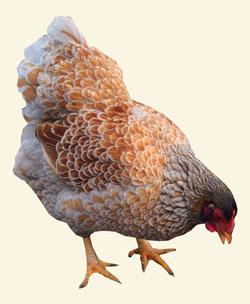 FAQ høns