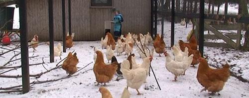 Pasning af høns om vinteren
