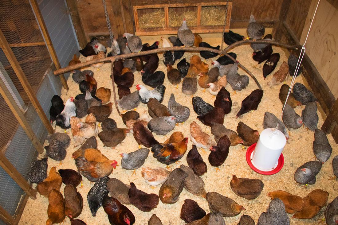 Høns til salg
