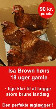 Isa Brown høns til salg